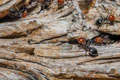 Ants moving close up. Ants and queen close up on trunk royalty free stock photography