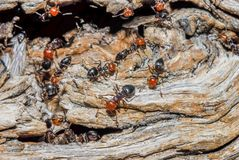 Ants moving close up. Ants and queen close up on trunk royalty free stock photos