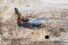 Ants and queen close up. On trunk royalty free stock photos