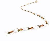 Ants queue Royalty Free Stock Photos
