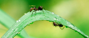 Ants after rain #1. Ant and water droplets on leaves in Rockhampton, Central Queensland , Australia Royalty Free Stock Images