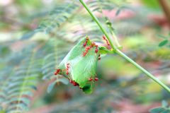 Ants, red ant nest Royalty Free Stock Photography