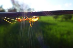 Ants Royalty Free Stock Images