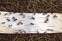 Ants on road. From birch bark close up Stock Photo