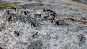 Ants on a rock stock video