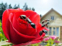 Ants, rose and summerhouse. Garden ants on rose and summerhouse, wideangle macro Stock Photos