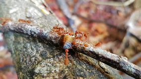 ANTS taking shell to shelter swarm intelligence royalty free stock photography