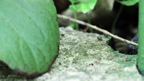 Ants running close up macro stock video footage