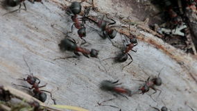 Ants running on a tree trunk Royalty Free Stock Image