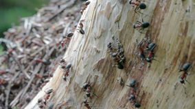 Ants running on a tree trunk Royalty Free Stock Photos