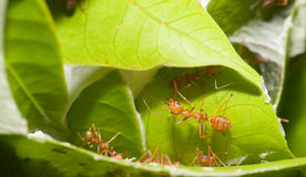 Ants soldier Royalty Free Stock Photography