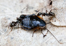 Ants Solenopsis invicta Royalty Free Stock Photos