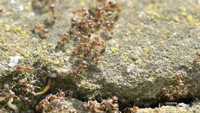 Ants on stone. Many ants working together royalty free stock photography