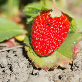 Ants and strawberry Stock Images