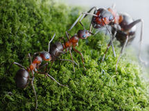 Ants submit to elders dominants Royalty Free Stock Photos