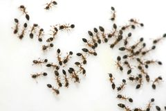 Ants on Sugar. Ant trail on sugar surface Stock Photos