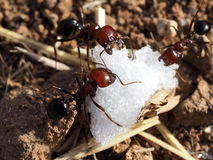 Ants and sugar Royalty Free Stock Photography