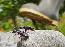 Ants, survival under boot. Garden ants survive under feet Royalty Free Stock Photo