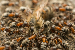 Ants Swarm Eating Dead Bee Stock Photography