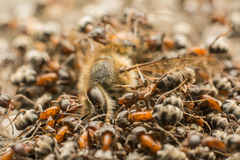 Ants Swarm Eating Dead Bee Royalty Free Stock Photography