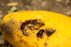 Ants swarming mango Royalty Free Stock Images