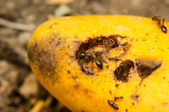 Ants swarming mango Royalty Free Stock Photography