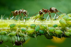 Ants taking care of aphids Royalty Free Stock Photos