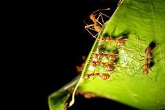 Ants team working Stock Photos