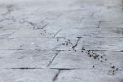 Ants Teamwork. A row of ants working on a stone road. Team work and discipline concept Royalty Free Stock Photos