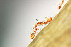 Ants Teamwork. Macro photo of ants working on food delivery Stock Images