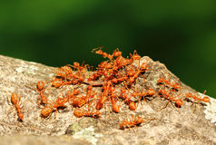 Ants' Teamwork Stock Image
