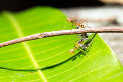 Ants teamwork hunting focused of bait's cricket Royalty Free Stock Images