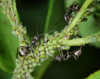 Ants tending aphids macro. Black ants herding and nursing small green aphids for honeydew macro close-up royalty free stock photos