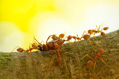 Ants in a tree carrying a death bug Royalty Free Stock Photography
