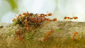 Ants in a tree carrying a death bug Royalty Free Stock Images