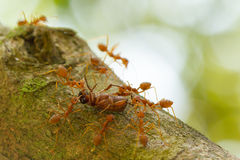 Ants in a tree carrying a death bug Stock Image