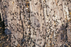 Ants on a tree stump Royalty Free Stock Image