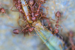 Ants troop trying to move a dead grasshopper. In forest Royalty Free Stock Images