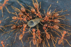 Ants troop trying to move a dead insect Royalty Free Stock Image