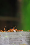Ants on trunk and their larvae Royalty Free Stock Image