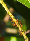 Ants on Twig Stock Photo