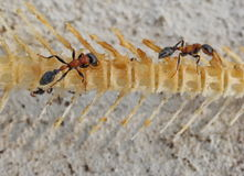 Ants. Two ant are eating victim Stock Photos