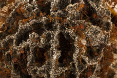 Ants in the underground nest. Ants in the underground nest Royalty Free Stock Photography