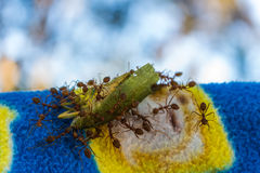 Ants and victim Royalty Free Stock Photos