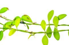 Ants walk on climber plant Stock Image