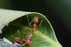 Ants walk on the leaf. In The Garden Of Thailand Royalty Free Stock Images