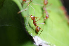 Ants walk on Leaf. Stock Photography