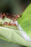 Ants walk on Leaf. Royalty Free Stock Image