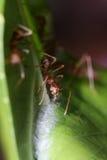Ants walk on Leaf. Stock Image