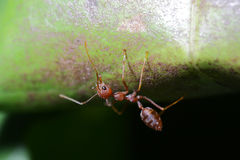 Ants walk on Leaf. Royalty Free Stock Photo